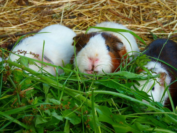 Guinea Pig Diet - guinea pigs eat fresh food