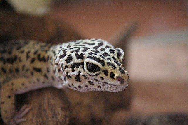 leopard gecko care guide - feeding